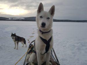 Husky sitting on sled