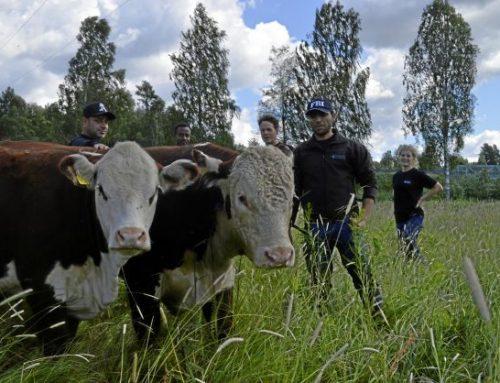 Ludvika – kommunen som har egna köttdjur