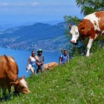 hikers and cows