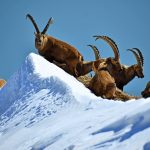 Ibexes in winter over lake Brienz