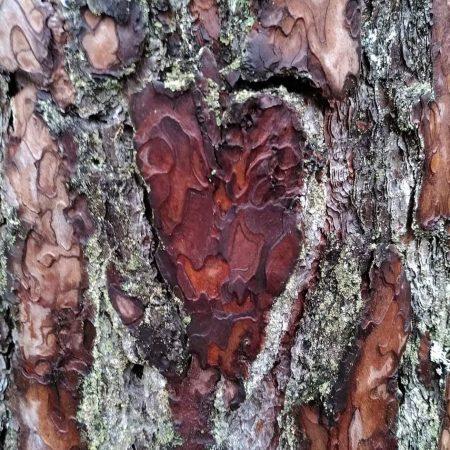 Ett hjärta i bark