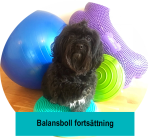 Balansbollskurs fortsättning. Hundkurs i Lund Malmö Staffanstorp. havanais balanserar
