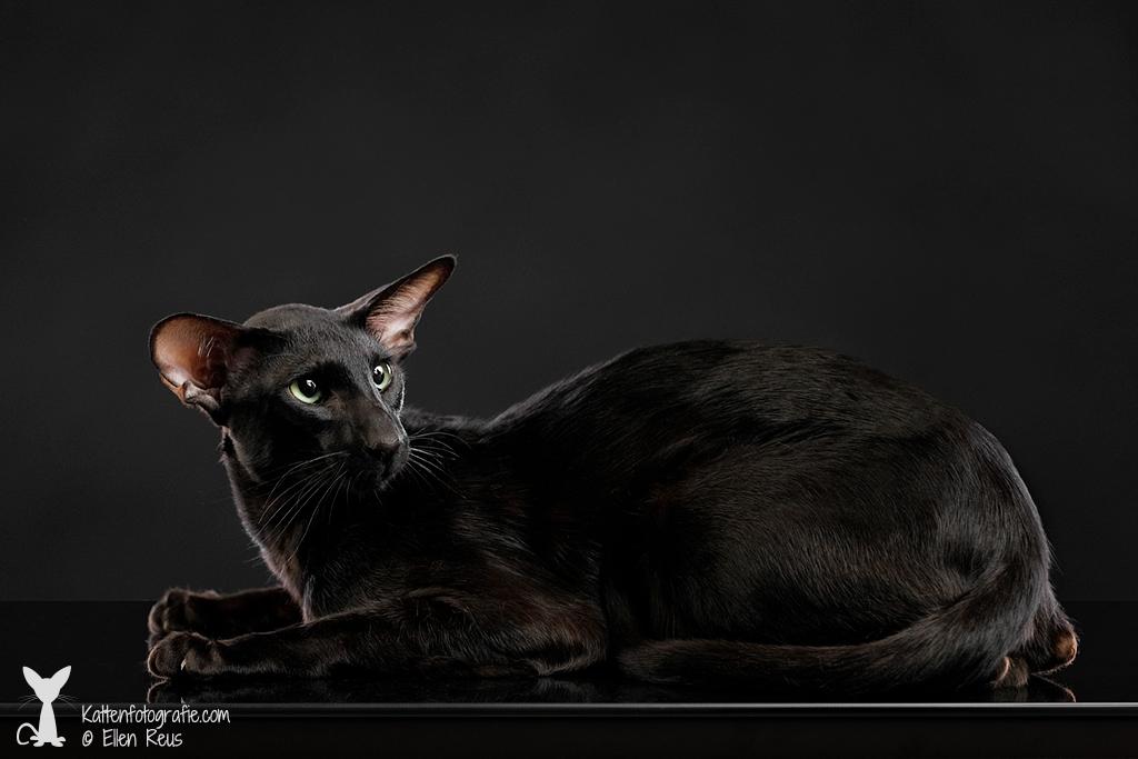 Truffle - Oosters Korthaar - Ebony - Kattenfotografie - Dierfotografie - Door: Ellen Reus - Wolves fotografie
