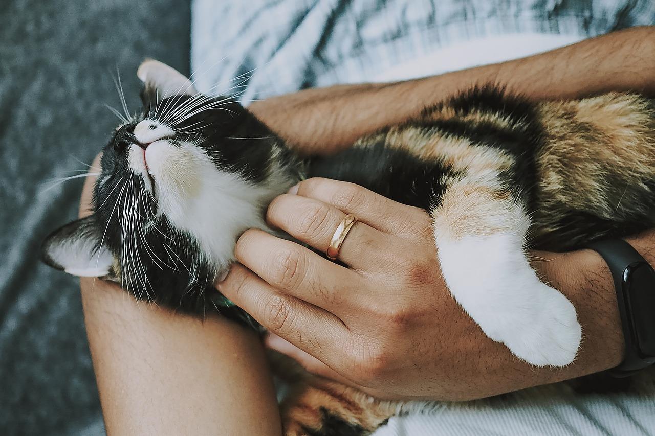 Adoptering av katt