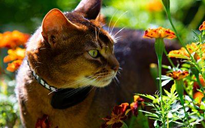 Katt med SmartCat Katt GPS Pro och Red Dingo Katthalsband Ziggy svart med reflex