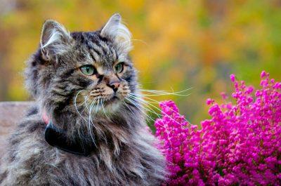 en lurvig katt med smartcat katt gps i ett ziggy rött katthalsband med reflex