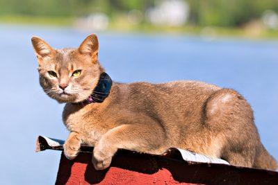 En ljusbrun katt som ligger på en bänk och med ett katthalsband med en GPS fastsatt på halsbandet