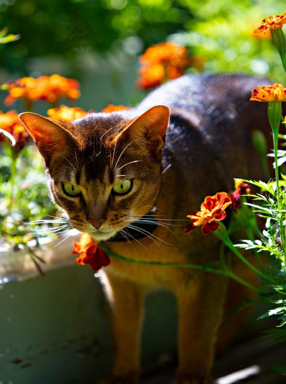 Katt med SmartCat Katt GPS PRO