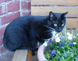 eine schwarze Katze mit weißen Pfoten und latz sitzt vor einer Backsteinwand und schaut auf einen Blumenkübel mit blau und wei0 blühenden Blumen