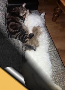 ein getiegerter und ein weißer Kater liegen ausgestreckt dicht beieinander auf einem Sofa.