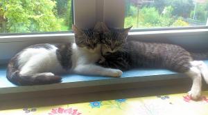 zwei Katzen liegen mit seitlich aneinander gelehnten Köpfen auf einer Fensterbank