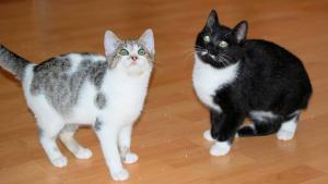 zwei kleine Katzen, grau-weiß und schwarz-weiß, aufmerksam nach oben schauend