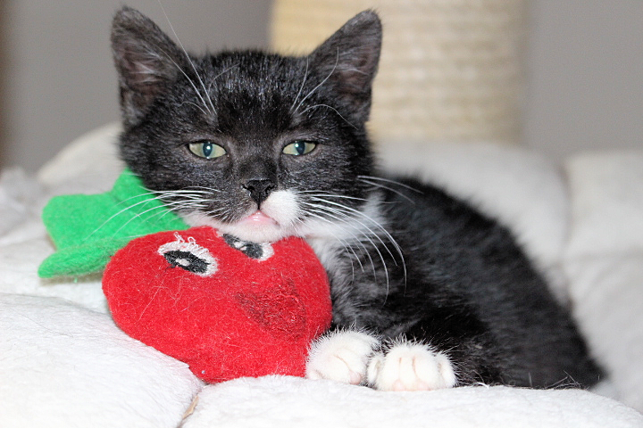 schwarz-weißes Katzenkind auf der Liegefläche eines Kratzbaumes, mit roter Plüscherdbeere
