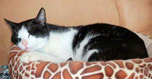 schwarz-weißer Kater, auf einem Kissen liegend, mit geschlossenen Augen