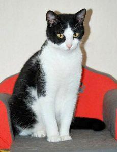 schwarz-weißer Kater auf einem Katzensofa aufrecht sitzend
