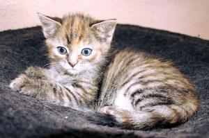 kleine getiegerte Katze in einem dunklen Nest liegend