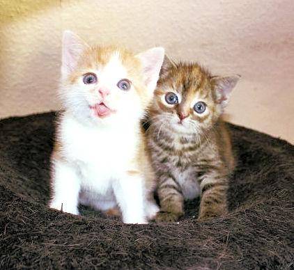 zwei Kitten in einem Nest dicht beieinander sitzend, schauen in die Kamera