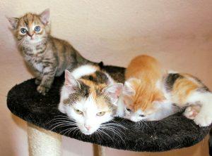 dreifarbige Katzenmutter in einem Nest liegend, mit zwei Kitten