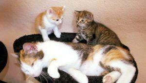 dreifarbige Katzenmutter in einem Nest liegend mit zwei Kitten