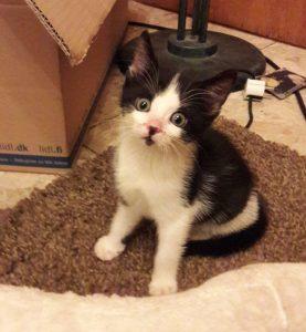 weiß-schwarzes Kitten, mit großen Augen in die Kamera schauend