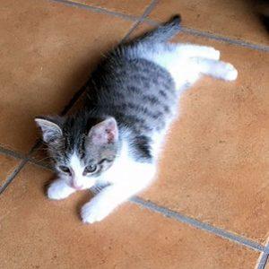 kleine weiß-grau getiegerte Katze liegt auf dem Fliesenboden