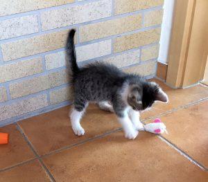 kleine weiß-grau-getiegerte Katze mit einer Spielmaus