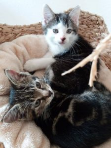 zwei Kitten liegen im Korb eines Kratzbaumes