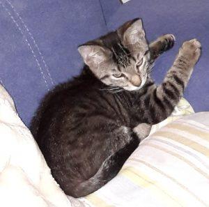 kleine getiegerte Katze liegt auf einem Sessel