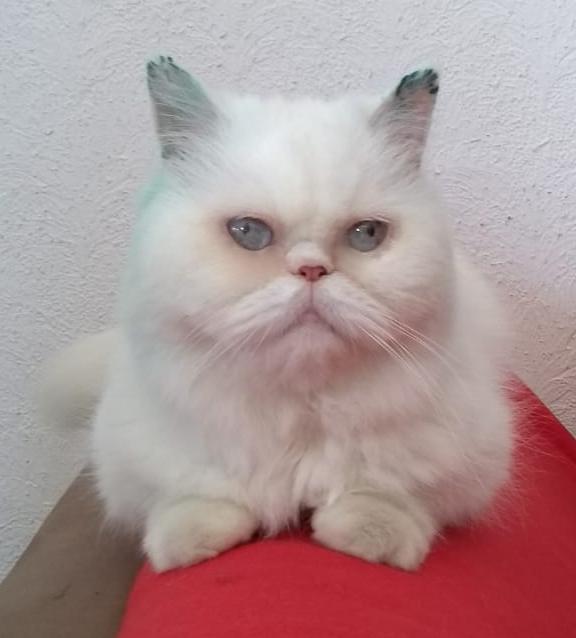 weiße Perser-Mix-Katze sitzt auf einer roten Decke, schaut in die Kamera