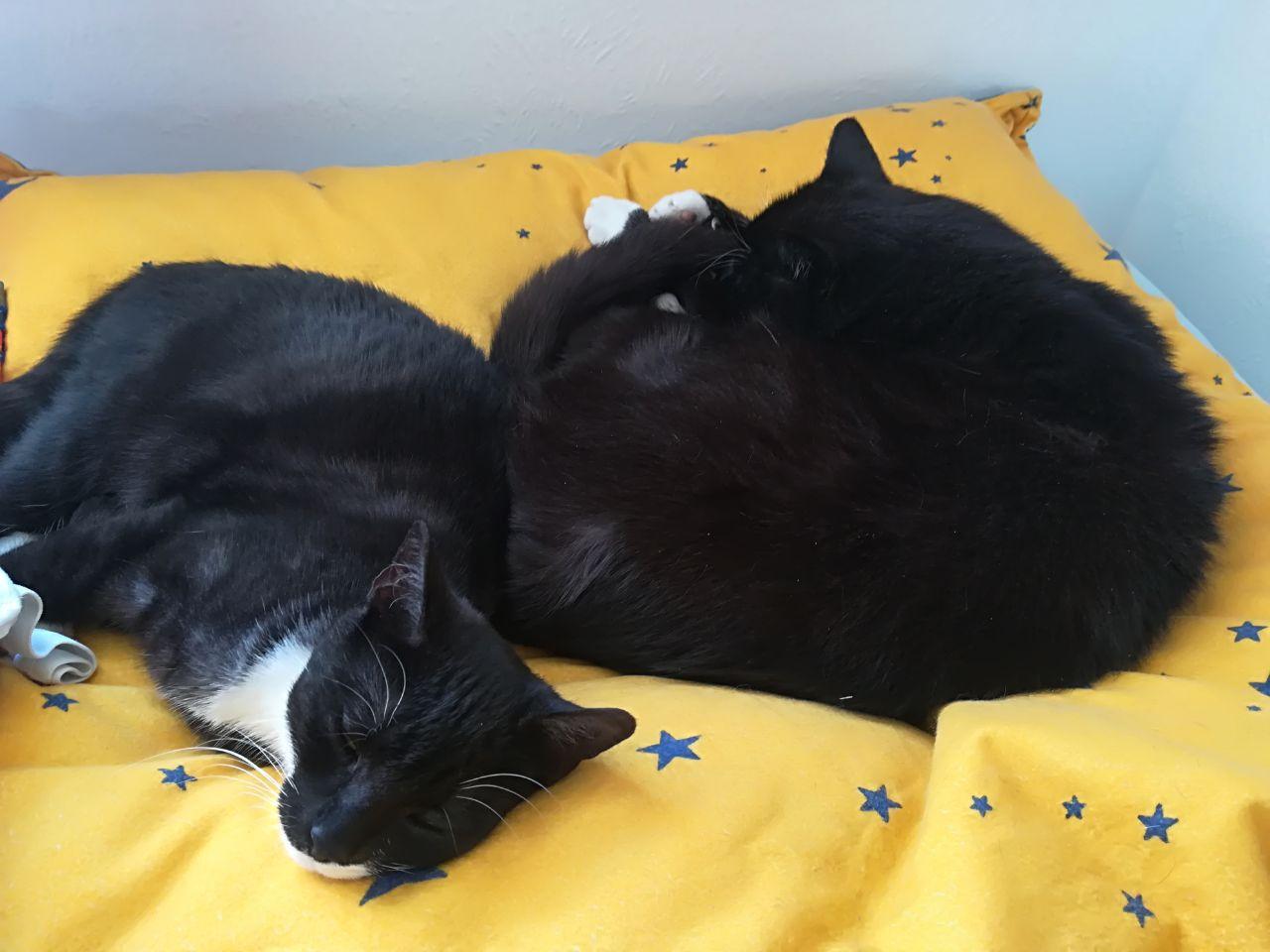 zwei schwarz-weiße Katzen auf einer gelben Decke