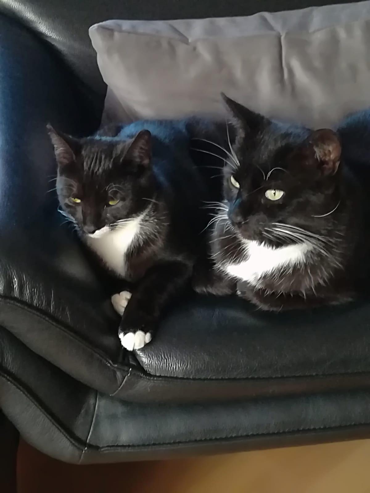 zwei schwarz-weiße Katzen dicht nebeneinander auf einem Sofa