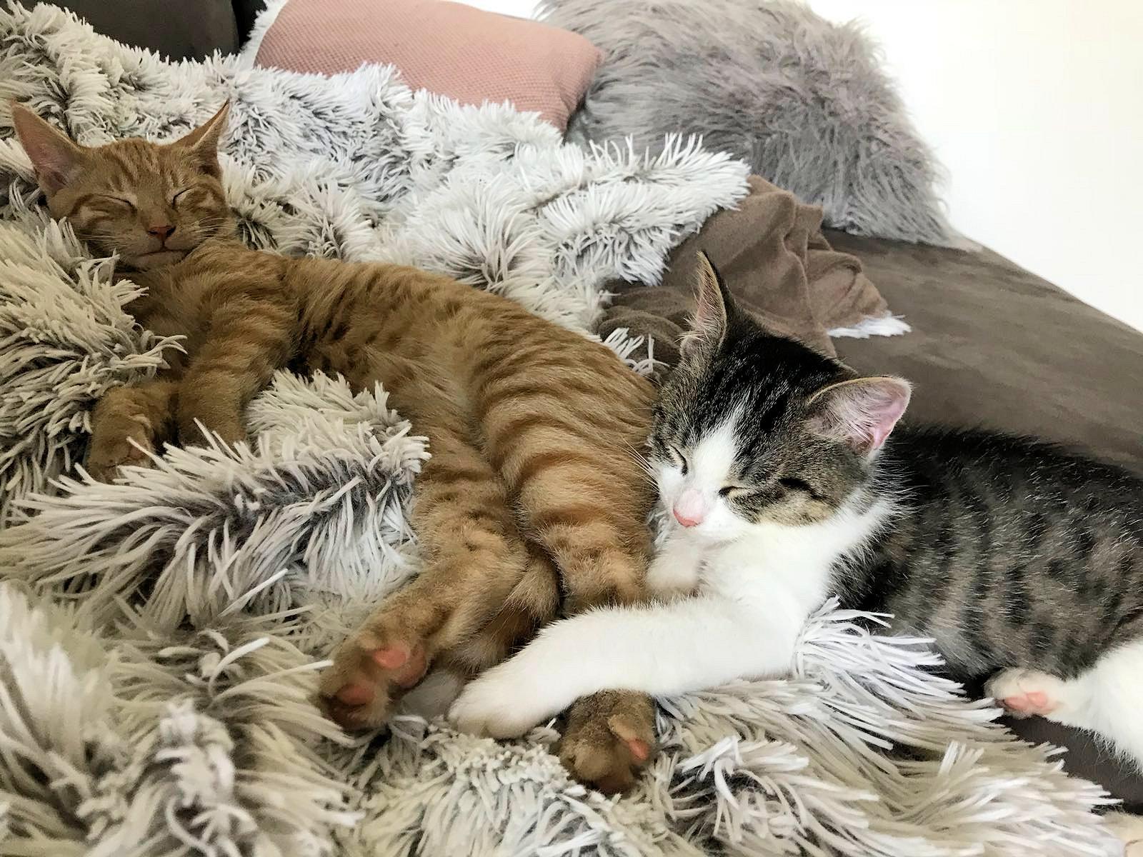 zwei Katzen schlafend auf einem Fell
