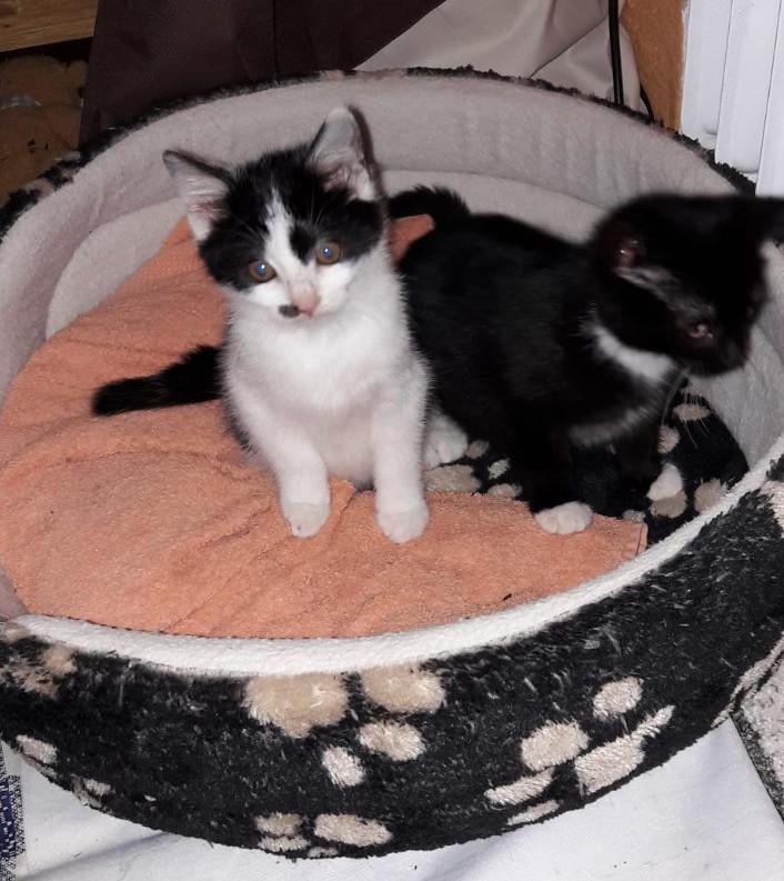 weiß-schwarzes und schwarz-weißes Kitten auf einem Kissen
