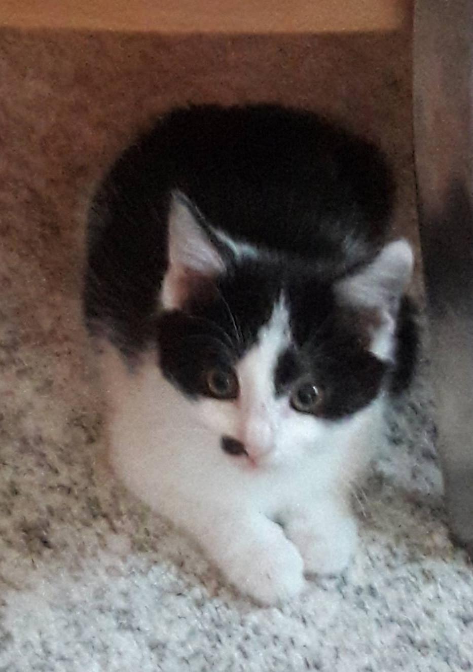 weiß-schwarzes Kitten liegt auf einer Decke