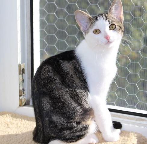 weiß-grau-getiegerte Katze sitzt auf einer Fensterbank, dreht sich zur Kamera
