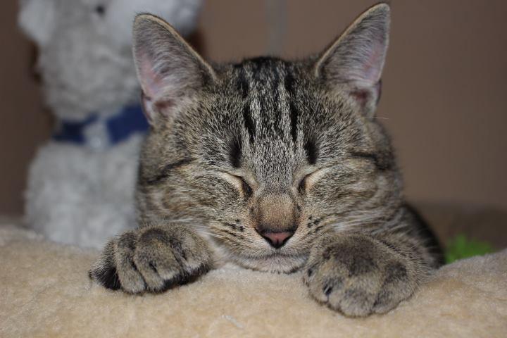schlafender Tabby-Kater, Kopf von vorne, auf den Pfoten liegend