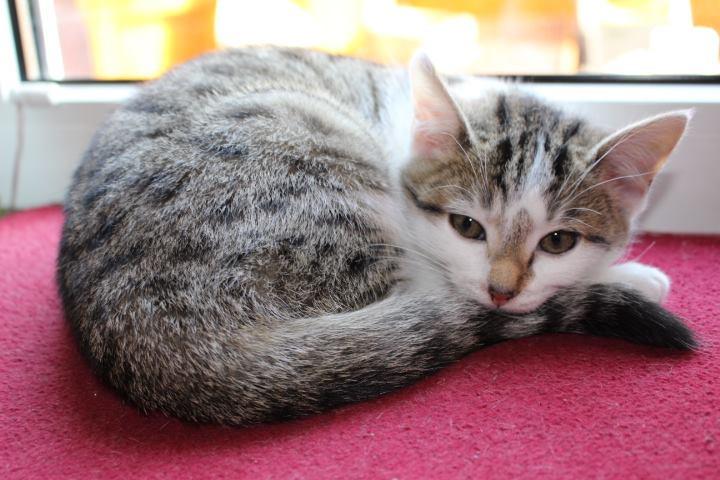 weiß-graues Kitten auf einer Fensterbank liegend