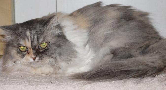 grau-weiße Perser-Mix Katze, liegend, schaut in die Kamera