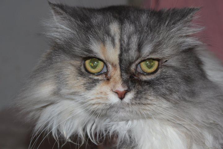 Kopf einer Perser-Mix Katze, schaut in die Kamera