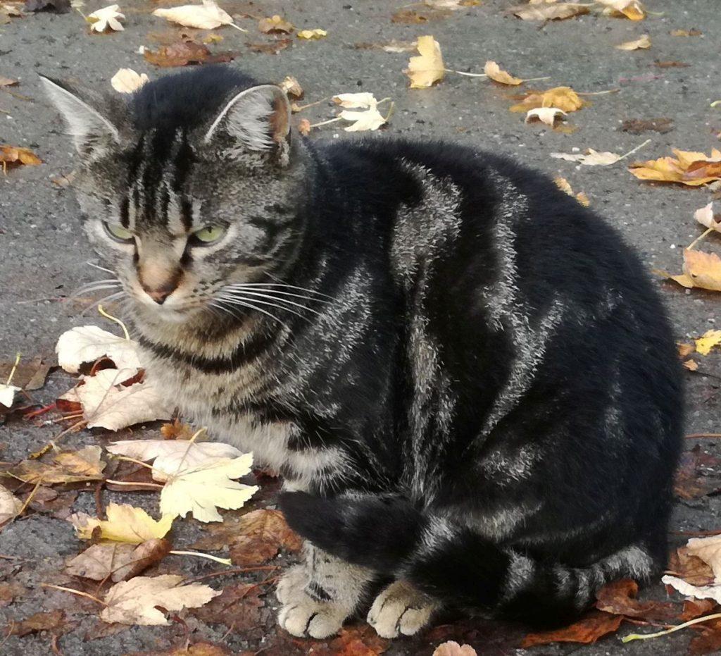 Tabby-Katze, im Laub sitzend