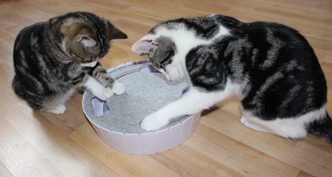 zwei Katzen aufmerksam mit einem Spielzeug beschäftigt
