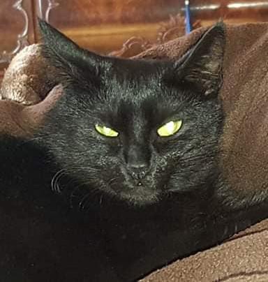 schwarze Katze liegt auf einer Decke, schaut in die Kamera