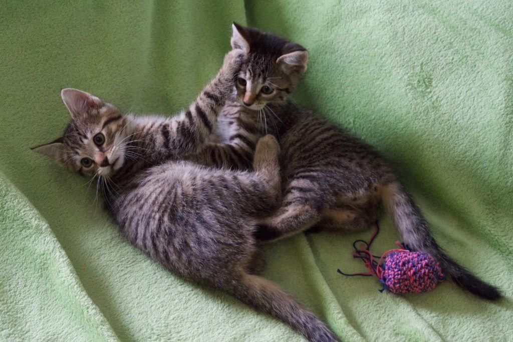 zwei kleine grau-ägeteigerte Kater spielen auf einer hellgrünen Decke