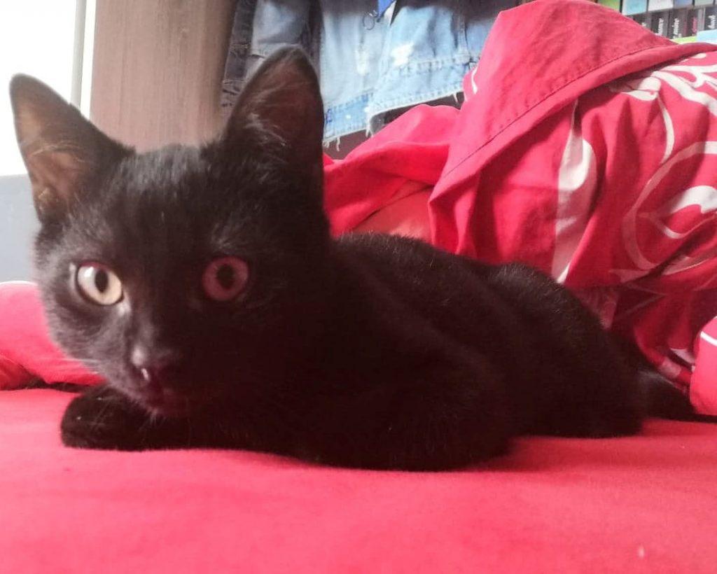kleiner schwarzer Kater liegt auf einer roten Decke, schaut in die Kamera