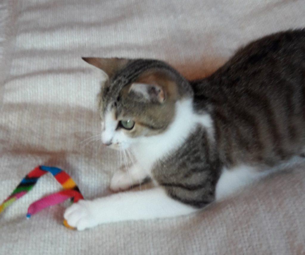 kleine dreifarbige Katze auf einer weißenDecke mit einem Spielzeug
