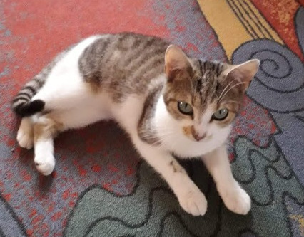kleine dreifarbige Katze liegt auf einem bunten Teppich