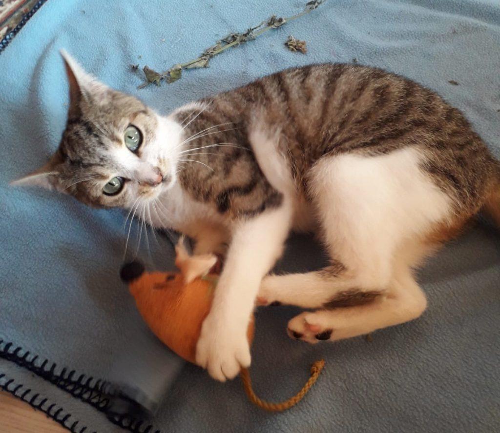 kleine dreifarbige Katze liegt auf einer blauen Decke mit einer Stoffmaus zwischen den Vorderpfoten