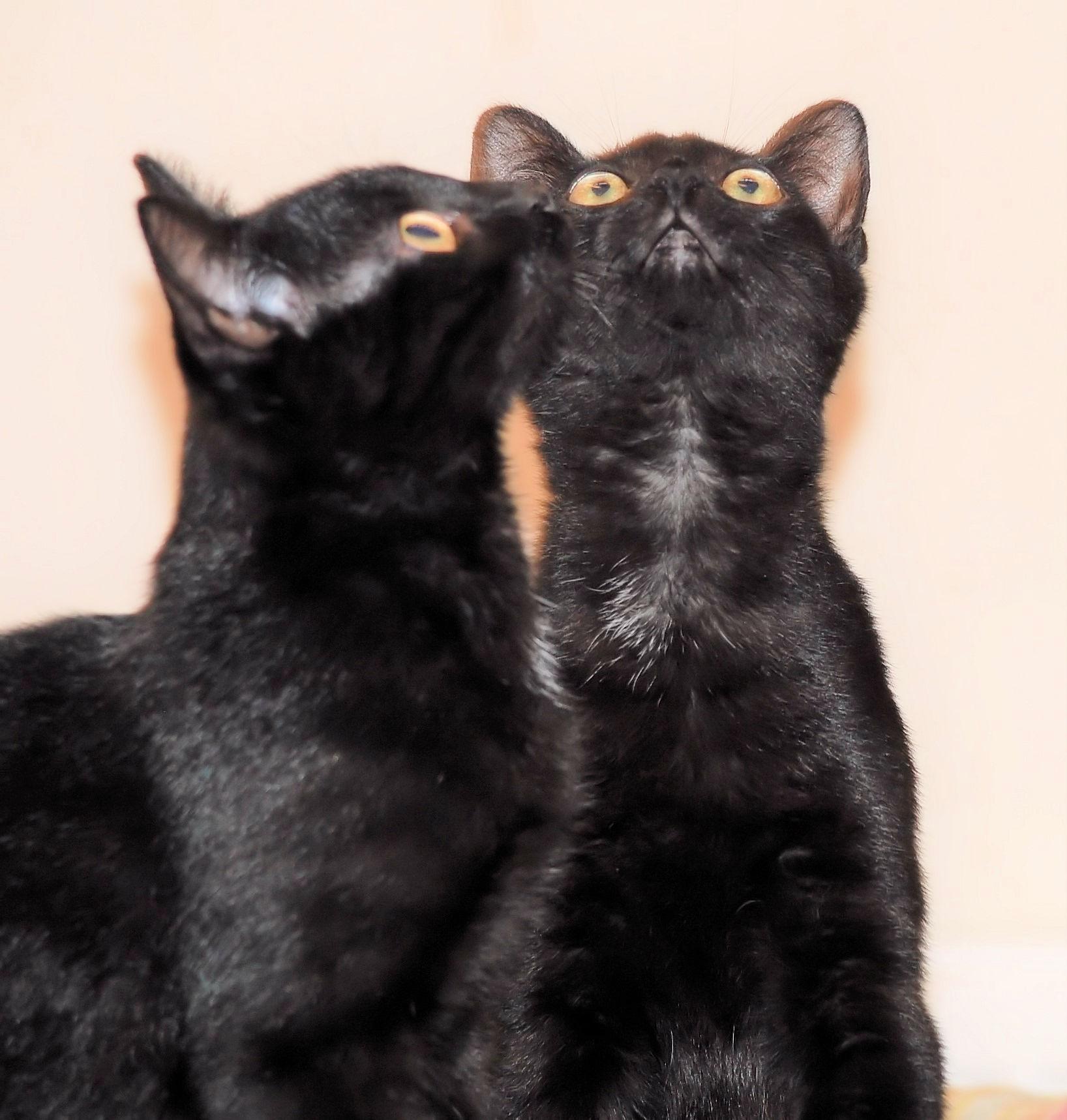 zwei kleine schwarze Kater, mit den Köpfen dicht beieinander, nach oben schauend