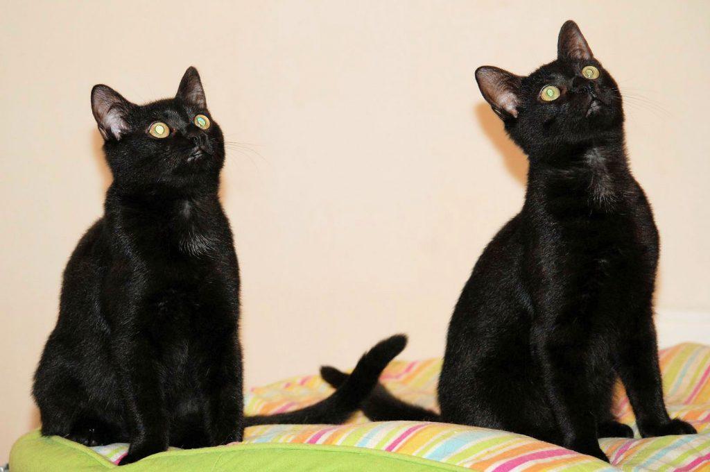zwei kleine schwarze Kater, nebeneinander auf einem Kissen sitzend
