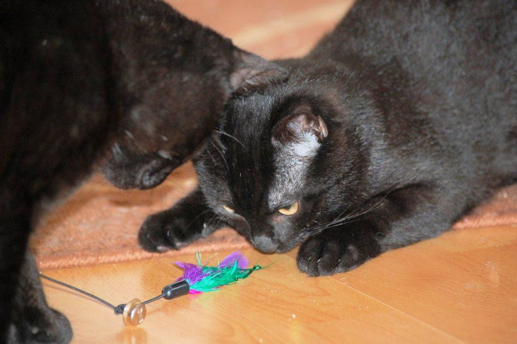 zwei kleine schwarze Kater betrachten neugierig ein Spielzeug